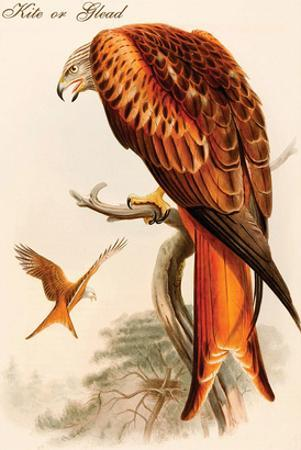 Kite or Glead