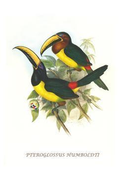 Lettered Aracari by John Gould