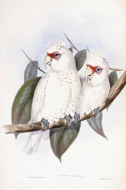 Long-Billed Cockatoo by John Gould