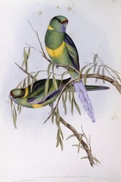 Mallee Ringneck (Platycercus or Barnardius Barnardi) by John Gould