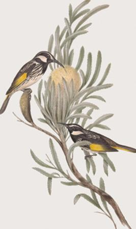 Meliphaga Mystacalis by John Gould