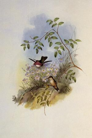 Mexican Satellite, Calothorax Calliope by John Gould