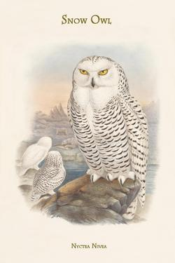 Nyctea Nivea - Snow Owl by John Gould