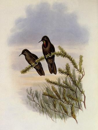 Olivaceous Thornbill, Rhamphomicron Olivaceum by John Gould