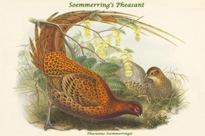 Phasianus Soemmerringii - Soemmerring's Pheasant