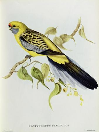 Platycercus Flaveolus by John Gould