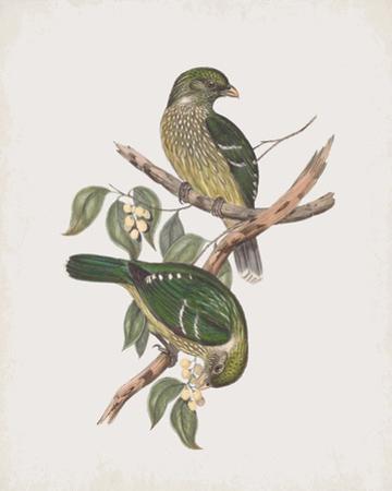 Ptilonorhynchus Smithii by John Gould