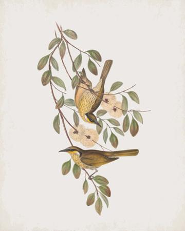 Ptilotis Versicolor by John Gould