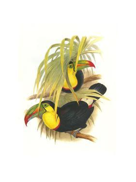 Rainbow or Keel Billed Toucan by John Gould