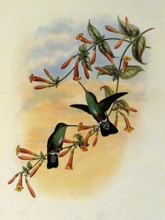 Riverine Emerald, Agyrtria Fluviatilis by John Gould