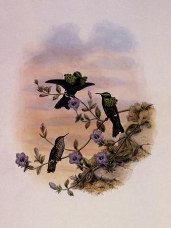 Roraima Coquette, Lophornis Pavoninus by John Gould