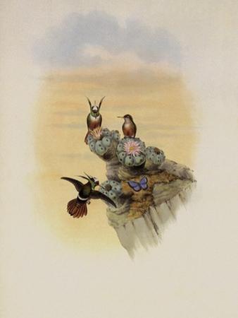 Salvin's Coquette, Lophornis Adorabilis by John Gould