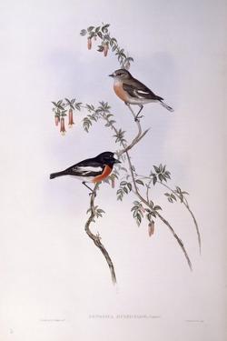 Scarlet Robin (Petroica Multicolour) by John Gould