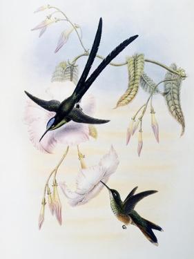 Scissor-Tailed Hummingbird (Hylonympha Macrocerca) by John Gould