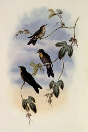 Simon's Thornbill, Rhamphomicron Dorsale by John Gould
