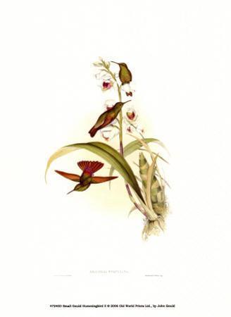 Small Gould Hummingbird II by John Gould
