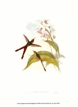Small Gould Hummingbird III by John Gould