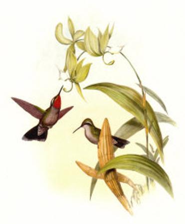 Small Gould Hummingbird IV by John Gould