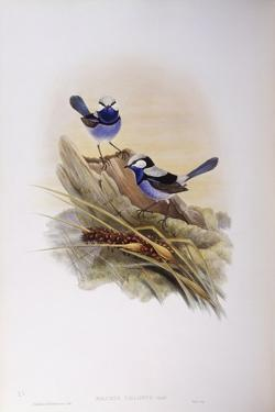 Splendid Fairywren (Malurus Splendens) by John Gould