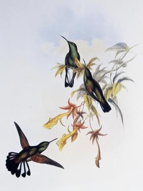 Stripe-Tailed Hummingbird (Eupherusa Eximia) by John Gould
