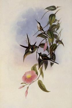 Sun Gem, Heliactin Cornuta by John Gould