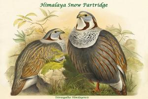 Tetraogallus Himilayensis - Himalaya Snow Partridge by John Gould