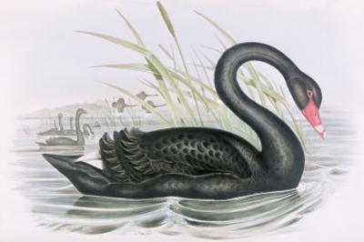 The Black Swan by John Gould