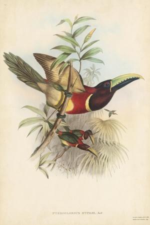 Tropical Toucans III