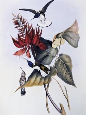 White-Necked Jacobin (Florisuga Mellivora) by John Gould