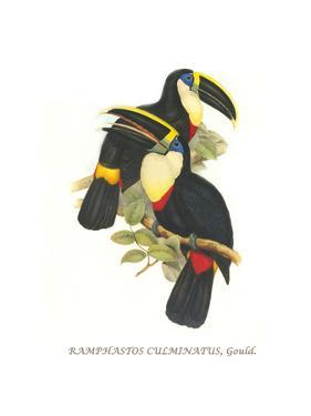 Yellow Ridged Toucan by John Gould
