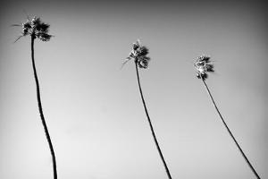 3 Palms Bw by John Gusky