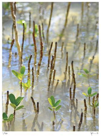 Light on Young Mangroves