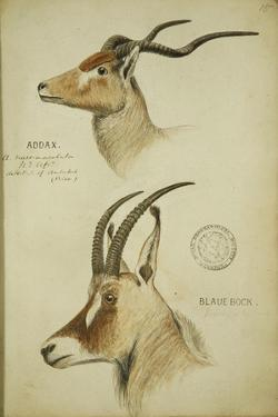 Addax and Blaue Bock, C.1863 by John Hanning Speke