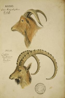 Aoudad and Jaela, C.1860 by John Hanning Speke
