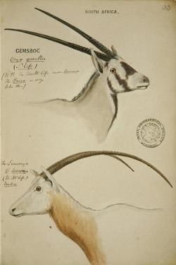 Cemsboc and Leuconyx, C.1863 by John Hanning Speke