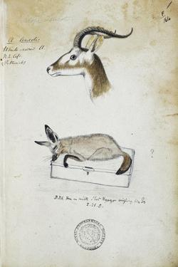 Drawing of an Antelope and a Fox by John Hanning Speke