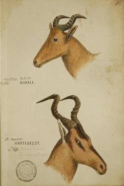 Two Antelope, C.1860 by John Hanning Speke