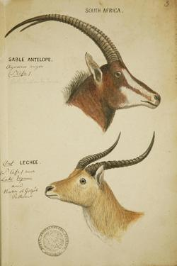 Two South African Antelope, C.1860 by John Hanning Speke