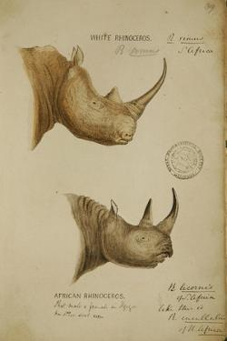 White Rhino and African Rhino, C.1860 by John Hanning Speke
