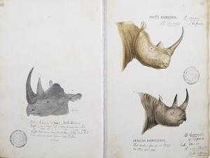 White Rhinoceros and African Rhinoceros, 1862 by John Hanning Speke