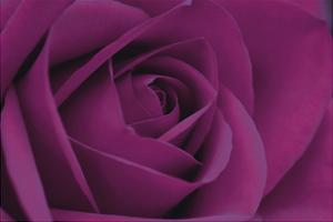 Persian Purple Rose by John Harper