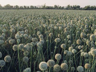 Onion Fields in Gujarat State, India, Asia by John Henry Claude Wilson