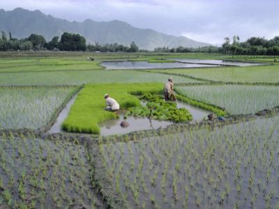 Paddy Fields, Farmers Planting Rice, Kashmir, India by John Henry Claude Wilson