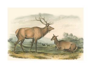 American Elk and Deer by John James Audubon