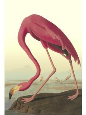 American Flamingo by John James Audubon