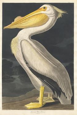 American White Pelican, 1836 by John James Audubon