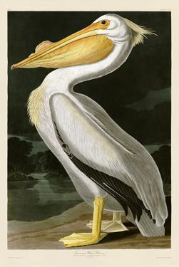 American White Pelican by John James Audubon