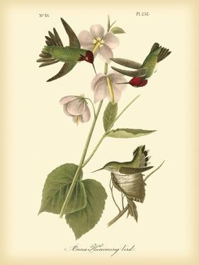 Anna Hummingbird by John James Audubon