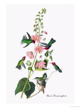 Anna's Hummingbird by John James Audubon