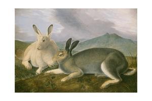 Arctic Hare, 1841 by John James Audubon
